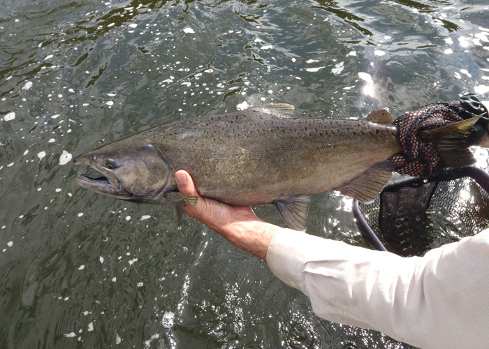 Klamath river fishing report wild waters fly for Fish sucking dick