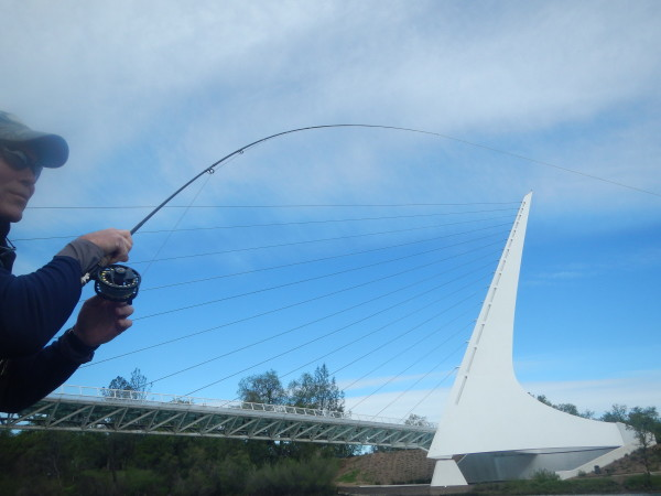 Fly Fishing the Lower Sacramento. Under the famed Sundial Bridge.