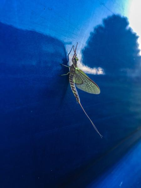 fallrivermayflies